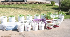 Baskets of seedlings, April 5th, 2011