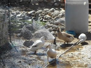 ducks in sprinkler 2