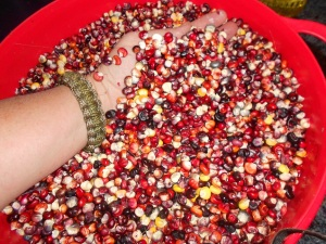 Painted Mountain Kernels, ready to grind, October 27, 2012.