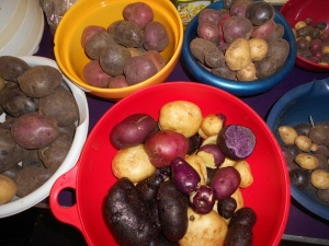 potato harvest 9-13