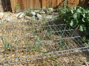 Garlic in mid-April, growing up through the mulch and chicken-proof wire racks