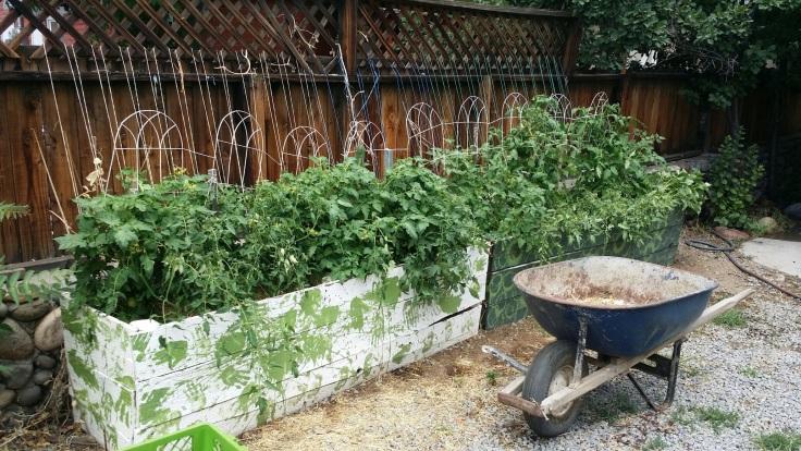 driveway-tomatoes